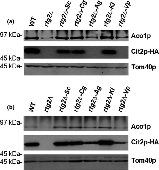 Aco1p and Cit2p protein profiles in rtg2Δ cells expressing Rtg2p homologs. 5 × 106 cells from an exponentially growing culture supplemented with glutamate were processed by alkaline lysis followed by TCA precipitation. The resulting whole cell extracts were separated by SDS-PAGE followed by immunoblot analysis using antibodies against Aco1p, the triple-hemagglutin epitope to detect Cit2p and Tom40p. Tom40p was included as a loading control. Aco1p and Cit2p protein levels in rtg2Δ cells expressing Rtg2p homologs from the native RTG2 promoter (a) and from the constitutive GPD promoter (b).