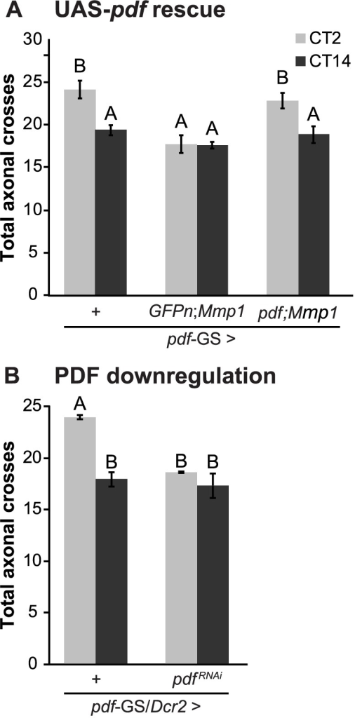 "PDF defines the axonal remodeling of its own neurons.A. Quantitation of total axonal crosses from UAS-PDF rescue experiments. Overexpression of PDF rescues the structural plasticity defects caused by Mmp1 overexpression. ""+"" in the x axis refers to a single copy of CD8GFP; pdf-GS. Data represents the average (± standard error of the mean) between 3–5 independent experiments and a minimum of 21 flies were analyzed per Genotype/CT. B. PDF downregulation prevents circadian axonal remodeling of sLNv terminals and reduces daytime complexity to nighttime levels. ""+"" in the x axis refers to a single copy of CD8GFP, Dcr2; pdf-GS. Data represents the average (± standard error of the mean) between 3 independent experiments and a minimum of 25 flies were analyzed per Genotype/CT. In both experiments different letters indicate statistical differences with a p<0.05 (Two-way ANOVA with a Duncan post-hoc test) and all the experimental groups include RU to induce expression."
