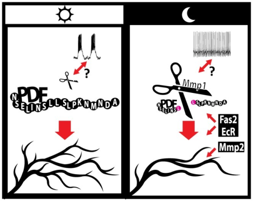 "A model for the regulation of circadian axonal remodeling of sLNv neurons.The bidirectional arrow between electrical activity and Mmp1 suggests a possible coordination of both processes. Mmp1 effects on structural plasticity are dependent on the modulation of PDF levels at the sLNv terminals, via direct proteolysis, while Mmp2 appears to act downstream of the neuropeptide. Electrical activity regulates the overall level of complexity but it is not required to determine the circadian aspect of this remodeling. Given our current understanding Fas2 and EcR could act either upstream or downstream of PDF; however, the well-known Fas2 function points to a more direct modulation of circuit structure. Changes in the size of ""PDF"" and ""Mmp1"" molecules illustrate oscillations in abundance along the day."