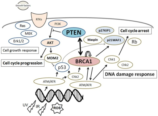 Schematic depiction of the integrative model of tumor suppressors signaling including PTEN and BRCA1. Examples of molecules known to act on DNA damage response, cell proliferation, and cell cycle via the regulatory pathways are shown. Note that some critical pathways have been omitted for clarity.