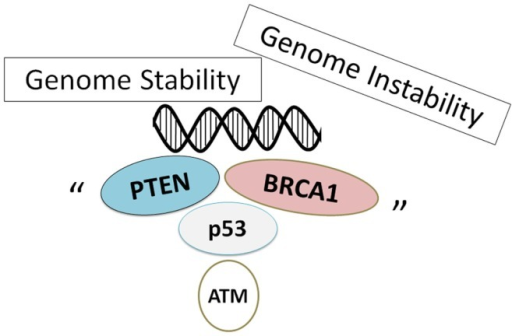 Schematic illustration implying that genome stability is sustained on several tumor suppressors. Note that some critical other functions have been omitted for clarity.