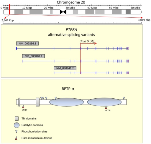 Structure of the PTPRA gene, RPTP-α, and position of discovered rare missense mutations.