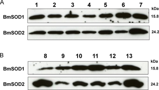 Developmental and tissue distribution of BmSODs in B.moriAliquots (10 μg) of whole body homogenates from B. mori of the following stages, separated by SDS-PAGE, transferred to nitrocellulose and probed with anti-SOD antibodies (A): day 0 of the first (lane 1), second (lane 2), third (lane 3), fourth (lane 4) and fifth (lane 5) instar larvae, as well as pupae (lane 6) and adult (lane 7) stages. Aliquots (10 μg) of protein from various tissues of day 3 fifth instar larvae were subjected to SDS-PAGE and were examined for expression of both BmSODs antibodies (B): midgut (lane 8), silk gland (lane 9), testis (lane 10), fat body (lane 11), ovary (lane 12) and Malpighian tubule (lane 13).