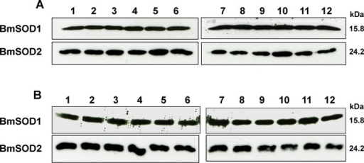Effects of ROT- and ISDN-induced oxidative stress on BmSOD1 and BmSOD2 expression in BmN4 cells.BmN4 cells exposed to ROT for 3 or 6 hours (A) or ISDN for 3 or 6 hours (B) were examined for BmSOD1 and BmSOD2 content by immunoblotting. Aliquots (10 μg) of protein samples from BmN4 cells subjected to the following treatments: control (lanes 1–3) and ROT treatment (lane 4–6) for 3 hours; control (lane 7–9) and ROT treatment (lane 10–12). All samples were separated by SDS-PAGE, transferred to nitrocellulose and probed with each specific antibody.