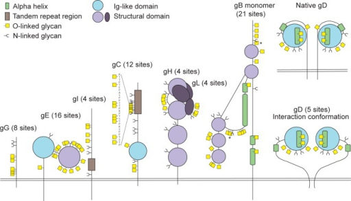 Identified O-linked glycosylation sites on HSV-1 envelope glycoproteins.The cartoon depicts approximate localization of the 74 identified O-linked glycosylation sites in the context of known structural elements of 8 HSV-1 envelope glycoproteins [38–42, 48]. The remaining 4 HSV-1 envelope glycoproteins without identified O-glycosylation are not depicted, although some of them are predicted to be N-glycosylated (gJ, gK, gM, gN). O-glycosylation sites marked with an asterisk can potentially have a slightly different location due to the ambiguity of the site identification within the peptide stretch. Sequence-predicted N-linked glycosylation sites are indicated.