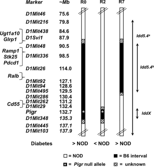 Schematic diagram of mouse chromosome 1 and congenic intervals.Congenic strains names are abbreviated: R0 = NOD.B6-Chr1D1Mit48-D1Mit348Pigr-/-, R2 = NOD.B6-Chr1Pigr-D1Mit348Pigr-/-, R7 = NOD.B6-Chr1D1Mit48-D1Mit495. Diabetes incidence for congenic strains is described relative to NOD mice (>NOD or < NOD, based on Figs 1 and 3). Idd5.4a represents the B10-derived interval defined by Hunter et al. [25]; Idd5.4b represents the B6-derived interval, defined by the R7 congenic strain, that confers increased susceptibility to diabetes; IddX represents the B6-derived interval harboring the Pigr  allele, defined by the R2 congenic strain, that confers protection against diabetes. Marker and gene positions are based on NCBI Bld37, mm9.