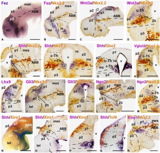 Expression of thalamic markers at early embryonic stages 37/38. Microphotographs of whole mounts (A,N) and sagittal (B,C,E,J,L,O,R) or transverse (D,F–I,K,M,P,Q) sections of embryos at stages 37/38. Photographs correspond to single ISH (purple; A,I), double ISH (purple/orange; G,N–Q) and combination of ISH (purple) with IHC (brown) (B–E, F,H,J,K,L,M,R). The markers labeled are indicated in the upper left of each photograph. All images are oriented following the same standard: dorsal is upwards in transverse and sagittal sections, and rostral is to the left in sagittal sections. The neuromeric boundaries and main brain subdivisions are indicated to assist in the precise localization of the labeling. At these stage c-Th and r-Th subdivision of the thalamus were distinguished (M). The levels of the transverse sections (D,F,P) are indicated in photographs (C,E,O), respectively. Scale bars = 100 μm (A,B,L,N,O), 50 μm (C–K,M,P–R). See list for abbreviations.