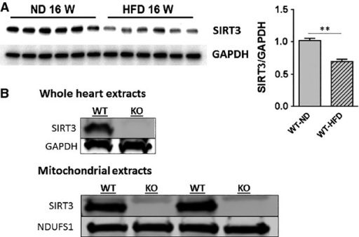 HFD decreases SIRT3 expression in the heart. (A) WT mice were fed ND or HFD for 16 weeks. Hearts were extracted and Western blot analysis was performed on ventricular lysates. The blot was probed for SIRT3 expression. The blot was stripped and reprobed for GAPDH as a loading control. Bar graph shows quantification of expression. Values are mean ± SEM, n = 6 mice per group. **P < 0.01. (B) Confirmation that KO mice do not express SIRT3. Protein extracts from the ventricles and isolated mitochondria of WT and SIRT3 KO mouse hearts were probed by Western analysis for SIRT3 (28 kD). For heart extracts, GAPDH (37 kD) was probed for to demonstrate equal protein loading; for mitochondria extracts, Complex I subunit NDUFS1 was used as the loading control (∼75 kD) for mitochondrial samples. Results are from 3 WT and 3 KO mice.