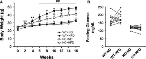 Effect of HFD on bws and fasting blood glucose levels in mice. WT and SIRT3 KO mice were fed a HFD and ND for 16 weeks. (A) Body weight curves over 16 weeks are shown. Values are shown as mean ± SD, n = 10 mice per group. PI ≤ 0.01; **P ≤ 0.01 WT-ND versus WT-HFD; ##P ≤ 0.01 WT-HFD versus WT-ND, KO-HFD versus KO-ND, and WT-HFD versus KO-HFD. (B) Blood glucose measurements were made in WT and SIRT3 KO mice fasted for 24 hrs. Measurements were made in individual mice on ND and following 16 weeks of HFD (10 mice per group).