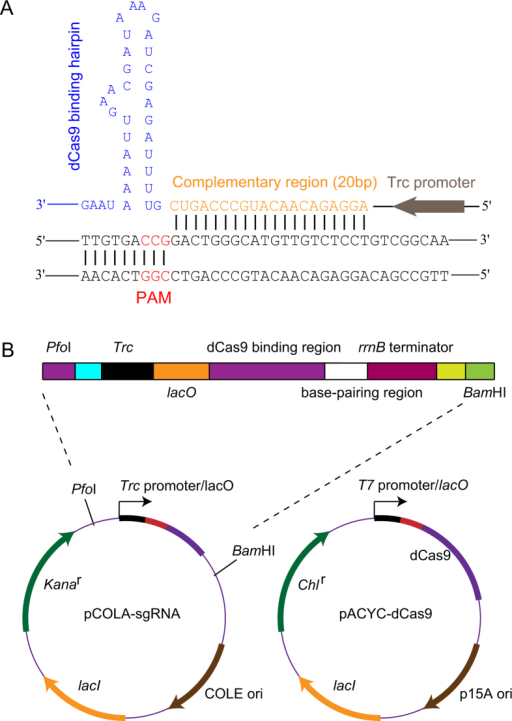 Construction of the CRISPRi system for controlling gene expression.(A) Sequence of the designed sgRNA template. sgRNA targets the non-template DNA strand of the gene-coding region. Base-pairing nucleotides (20 bp) are shown in orange. The dCas9-binding hairpin is in blue. The PAM sequence is shown in red. The Trc promoter is shown in grey. (B) This CRISPRi system consists of an inducible dCas9 protein and a designed sgRNA chimera. The dCas9 mutant gene contains two silencing mutations of the RuvC1 and HNH nuclease domains. The sgRNA chimera contains four functional domains: a Trc-inducible promoter, a 20-nucleotide (nt) complementary region for specific DNA binding, a 42-nt dCas9-binding hairpin and a 40-nt transcription terminator derived from S. pyogenes15.