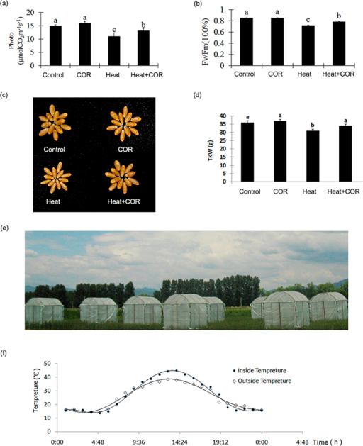 Coronatine induced photosynthesis and yield variation.(a) Photosynthetic performance of different treatment. Four treatments: Control: outside the shed for 7 days after water pretreatment for 24 hrs; COR: outside the shed for 7days after coronatine pretreatment for 24 hrs; Heat: inside the shed for 7 days after water pretreatment for 24 hrs; COR + Heat: inside the shed for 7 days after coronatine pretreatment no shed for 24 hrs. The photosynthetic capacity was shown as mean ± SD from 3 replicates (n = 20 lines/replicate; Bars labeled with different letter are significantly different at P > 0.05 as determined by LSD test). (b) Chlorophyll fluorescence of different treatment. The chlorophyll fluorescence was shown as mean ± SD from 3 replicates (n = 20 lines/replicate; Bars labeled with different letter were significantly different at P > 0.05 as determined by LSD test). (c) Phenotype of wheat grain in different treatment. (d) TKW (Thousand Kernel Weight) of different treatment corresponding with figure C. The TKW was shown as mean ± SD from 3 replicates (n = 20 lines/replicate; Bars labeled with different letter were significantly different at P > 0.05 as determined by LSD test). (e) Simplified shed for heat stress. The height of shed is 2.5 m, and 1.5 m width, 0.5 m height opened at the bottom for gas exchange. Picture was taken by Yuyi Zhou. (f) The different temperature between inside and outside the shed. The temperature recorded by auto-thermometer through the whole day.