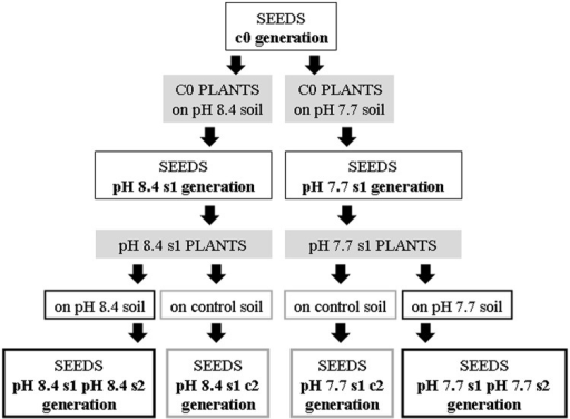 Production of the Arabidopsis thaliana plants with generational exposure to Fe deficiency.A. thaliana wt ecotype Col or A. thaliana SHR-trap 1445 line (background Col) were used as control c0 generation (c0 seeds). c0 seeds grown in control soil produced seeds that are still named c0; c0 seeds grown in either pH 7.7 or pH 8.4 soil produced pH 7.7 s1 or pH 8.4 s1 seeds, respectively. pH 7.7 s1 seeds grown in either pH 7.7 or control soil produced pH 7.7 s1 pH 7.7 s2 or pH 7.7 s1 c2 seeds, respectively. pH 8.4 s1 seeds grown in either pH 8.4 or control soil produced pH 8.4 s1 pH 8.4 s2 or pH 8.4 s1 c2 seeds, respectively.