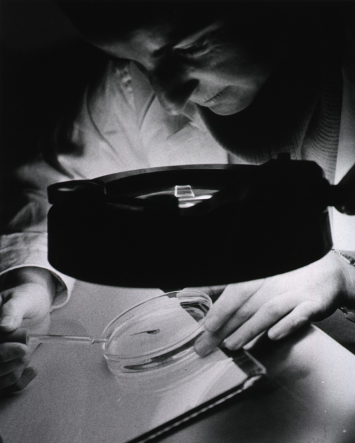 <p>Publicity photo.  Maureen O'Connell, research technician, examines a tadpole while it is undergoing anesthesia.</p>