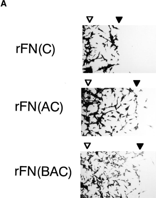 Migration of HT1080 cells on recombinant FNs. 96-well plates were precoated with 5 μg/ml of rFN(C) (open bars),  rFN(AC) (closed bars), or rFN(BAC) (hatched bars) and then  partially covered with plastic discs (φ 6 mm) that had been cut in  half and coated with 0.01% poly-l-lysine. HT1080 cells were  seeded onto the plates and incubated for 1.5 h at 37°C to allow  them to spread. The plastic discs were then removed and the cells  were further incubated at 37°C for 12 h to allow them to migrate  into the open space left after removal of the discs. (A) The cells  were photographed before and after migration at 37°C for 12 h.  The positions of the cell front before and after the cell migration  were indicated by open and closed arrowheads, respectively. (B)  Cell motility on different substrates was quantified by measuring  the distance of outward migration, i.e., the distance between the  positions of the cell front before and after cell migration. Cell  motility was assayed in the presence or absence of 20 μg/ml of the  anti-integrin α5 subunit mAb 8F1 or control IgG. Each bar represents the mean ± SD (n = 6).
