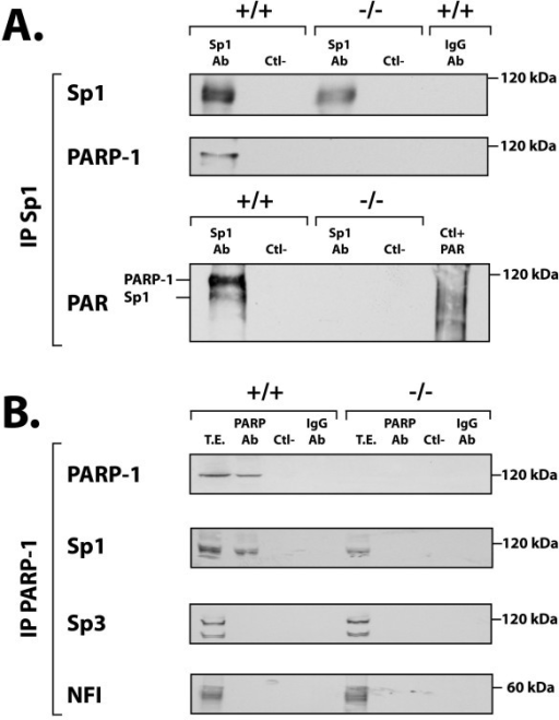 Co-immunoprecipitation of Sp1 and PARP-1 in protein extracts from PARP-1+/+ and PARP-1-/- cells. (A) Immunoprecipitation of the Sp1-protein complexes in PARP-1+/+ and PARP-1-/- nuclear extracts. Crude nuclear proteins (300 μg) from both PARP-1+/+ and PARP-1-/- cells were incubated with the Sp1 Ab (sc-59) and the Sp1-protein complexes recovered by the addition of protein-A-Sepharose. The resulting immunoprecipitated proteins were then SDS-gel fractionated before being membrane-transferred and Western blotted with antibodies against Sp1, PARP-1 (C-2-10) and PAR (LP-9610). Ctl-: protein A-Sepharose added to crude nuclear proteins in the absence of Sp1 Ab and used as a negative control. IgG-Ab: normal rabbit IgG incubated with nuclear proteins prior to addition of protein A-Sepharose as a negative control. (B) Immunoprecipitation of the PARP-1-protein complexes in PARP-1+/+ and PARP-1-/- nuclear extracts. Same as in panel A except that the immunoprecipitation was conducted using the PARP-1 F-123 Ab. The blotted, PARP-1-immunoprecipitated proteins were then analyzed with the PARP-1 (422), Sp1 (sc-59), Sp3 (sc-644), and PAR (LP-9610) antibodies. Negative controls (Ctl- and IgG-Ab) are as in panel A. TE: total cell extract that has not been immunoprecipitated with the PARP-1 Ab.