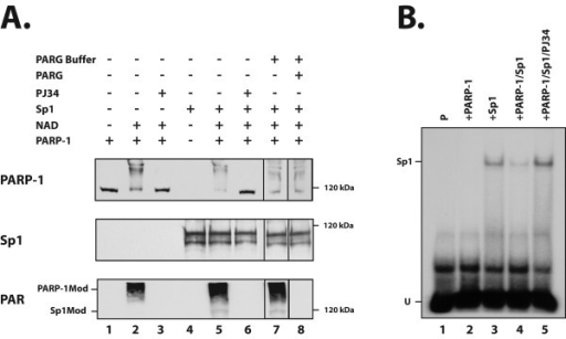 PARP-1-dependent poly(ADP-ribosyl)ation of Sp1 in vitro. (A) Recombinant Sp1 protein was incubated in reaction buffer either alone (lane 4) or with purified bovine PARP-1 (1 unit) in the presence of 200 μM NAD+ (lane 5). The reaction mixture was subjected to Western blot analysis with the PARP-1 (C-2-10), Sp1 (sc-59) and PAR (LP-9610) antibodies. When indicated, the PARP inhibitor PJ34 was added to the reaction mixture with purified PARP-1 alone (lane 3) or in the presence of recombinant Sp1 (lane 6). When indicated, samples from the in vitro PARP assay were electrophoresed and electrotransfered onto nitrocellulose membranes. The PAR covalently linked onto the automodified PARP-1 and Sp1 proteins was then erased by incubation with PARG and the proteins analyzed by Western blotting with the same antibodies as detailed above (lane 8). Lane 1: PARP-1 alone; lane 2: PARP-1 incubated with NAD+; lane 3: same as in lane 2 plus PJ34; lane 7: same as in lane 5 but incubated in PARG buffer without addition of PARG-1. The position of modified PARP-1 (PARP-1Mod) and Sp1 (Sp1Mod) is indicated (left) along with the appropriate molecular mass marker (right). (B) Recombinant Sp1 was incubated in reaction buffer containing 200 μM NAD+ and nicked DNA either alone (+SP1; lane 3) or with purified bovine PARP-1 (1 unit) (+Sp1/PARP-1; lane 4). A sample (16 μl) from the reaction mixture was then incubated with the 5'-end labeled Sp1 oligonucleotide and formation of DNA-protein complexes monitored by EMSA as in Figure 2. As a control, the PARP-1 inhibitor PJ34 was added to the reaction mixture containing PARP-1/NAD+/Sp1 (+Sp1/PARP-1/PJ34; lane 5). Lane 1: labeled probe alone in reaction mix (P); Lane 2: labeled probe incubated in buffer D with PARP-1 but in the absence of NAD and Sp1 (+PARP-1). The position of both the Sp1 complex (Sp1) and the free probe (U) is indicated.
