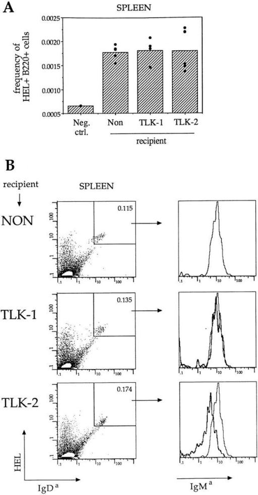 Small numbers of circulating HEL-specific B cells are not  eliminated in thyroid mHEL transgenic mice. Non-transgenic, TLK-1, or  TLK-2 C57BL/6 mice were injected i.v. with a mixture of C57BL/6  (Ly5b) Ig-transgenic splenic B cells and C57BL/6 Ly5a/b non-transgenic  spleen cells. Cells were left in the primary recipients either 5 or 10 d. (A)  Frequency of transgenic anti-HEL B cells per spleen remaining in each  recipient (dots) and geometric mean (bars) after 10 d. To detect subtle  changes, the cell frequencies per recipient are corrected for the injected  dose of cells by dividing by the ratio of percentage of Ly5a+, nontransgenic B cells remaining in each recipient and average percentage of Ly5a+,  nontransgenic B cells in all recipients. (B) FACS® analysis of representative spleens from 10-d parking recipients. Transferred Ig transgenic B cells  are double-positive for IgDa and HEL binding; percentage of cells double-positive for IgDa staining and HEL binding is given in the upper right  corner. All transgenic cells express a high level of IgDa, but expression of  IgMa on these IgDa-positive, HEL-binding cells is reduced 2–3-fold by  exposure to the TLK-2 environment.