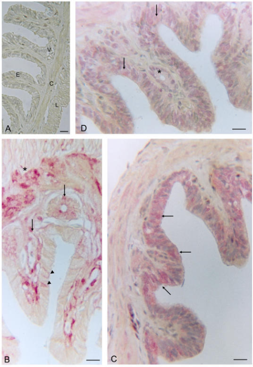 Uterus of Chalcides chalcides at the pre-ovulatory vitellogenic stage. A (negative control: without primary antibody). The uterine mucosa is thrown up into many long folds. Basal to the luminal epithelium (E) of low columnar cells, a lamina propria with numerous blood vessels (V) and the myometrium with outer longitudinal (L) and inner circular (C) layers are evident. B A strong immunoreactivity for IL-1α in the connective tissue and glandular cells of the lamina propria (arrows), and a weak reaction in the myometrium (*), where only a few epithelial cells are positive (arrowheads). C. Widespread immunoreactivity for IL-1β is seen in the luminal epithelium and in the myometrium. D. Immunoreactivity for IL-1R tI in the luminal epithelium (arrows), myometrium and cytoplasm of glandular cells (*). Bars = 25 μm.
