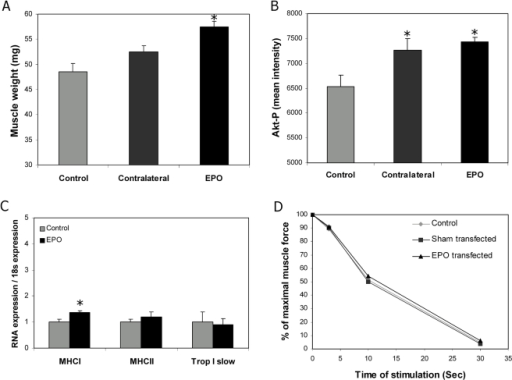 EPO expression is associated with muscle hypertrophy.The muscle hypertrophic response was evaluated 5 weeks after DNA electrotransfer in mice placed on the regular chow diet. Each group consisted of 8 mice. For A and B, data from muscles from control mice (control), the contra lateral leg of the EPO transfected mice (contralateral), and the EPO transfected leg (EPO) are shown. Means±SEM are depicted. A) Total muscle weight, B) phosporylated Akt determined by Western Blotting, C) expression of muscle fibre protein (Q-PCR) in control and EPO transfected muscles, and D) muscle stamina in % of the control leg. Statistical significance was tested by Student's t-test with Bonferroni corrections for multiple testing. * indicates significance at p<0.05.