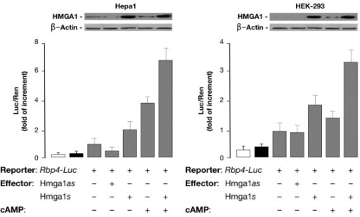 Role of HMGA1 in basal and cAMP-induced RBP4 expression. Rbp4-Luc reporter vector and HMGA1 expression plasmid (sense or antisense) were cotransfected into Hepa1 and HEK-293 cells, either untreated or treated with Br-cAMP. Data represent the means ± standard errors for three separate experiments. Transcriptional activity of the RBP4 gene promoter is shown as the ratio of luciferase activity to Renilla activity (Luc/Ren) as described in the experimental procedures. Values are expressed as the factors by which induced activity increased above the level of Luc activity obtained in transfections with the reporter vector alone, which is assigned an arbitrary value of 1. Open bar, mock (no DNA); black bar, pGL3-basic (vector without an insert). Western blots of HMGA1 and β-actin in each condition are shown in the autoradiograms.