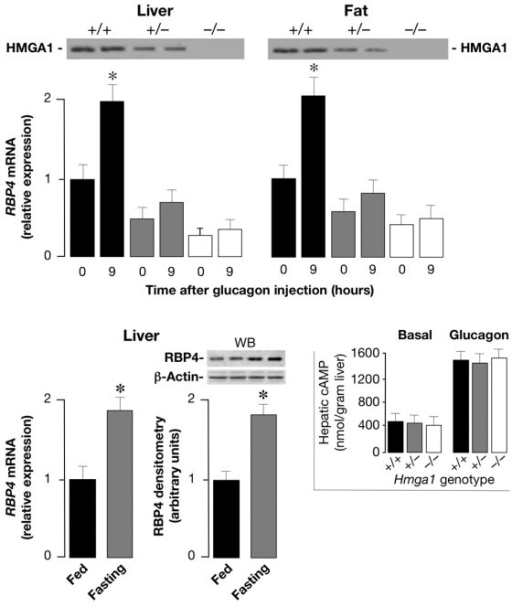 Comparison of RBP4 mRNA levels in glucagon-injected wild-type and Hmga1-deficient mice, and liver RBP4 expression in wild-type mice during fasting and fed. Total RNA was isolated from liver and fat of 3-h-fasted mice, before (time 0) and after 9 h of intraperitoneal injection of glucagon, and RBP4 mRNA was measured by qRT-PCR and normalized to RPS9 mRNA abundance. Results are the mean values ± s.e.m. from 6–8 animals per group. Black bars, Hmga1+/+, n = 8; gray bars, Hmga1+/-, n = 6; white bars, Hmga1-/-, n = 6. *P < 0.05 versus each control (time 0). Western blots for HMGA1 protein expression are shown in liver and fat from all three genotypes (top). The levels of RBP4 mRNA and protein (shown at the bottom of the figure) were measured in liver of fed and 6-h-fasted wild-type mice (6 animals per group), using qRT-PCR and Western blot (WB), respectively. *P < 0.05 versus fed mice. Inset, cAMP was measured in liver from control and Hmga1-deficient mice, in both basal conditions and 3 h after the intraperitoneal injection of glucagon (1 mg/kg body weight), as described in the Methods section. The data are mean ± s.e.m. for 4–6 animals per group.