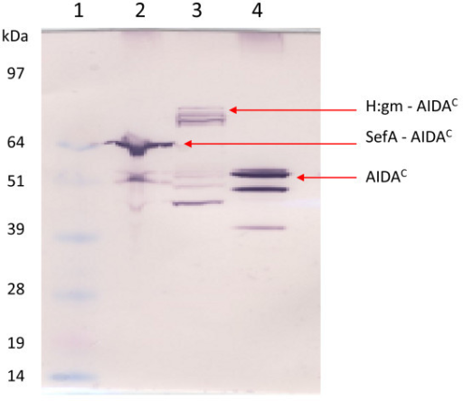 Expression of the salmonella epitopes in E. coli. Western blot showing fusion proteins to the AIDAC translocator. Lane 1: Marker, Lane 2: SefA, Lane 3: H:gm, and Lane 4: Negative control (AIDAC without fusion partner). Arrows indicate the calculated sizes. AIDAC-specific antibodies were used for detection.