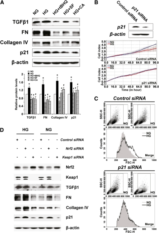 Blockage of TGF-β1 by Nrf2 activation alleviates ECM production and p21-mediated mesangial cell growth inhibition and hypertrophy. A: Expression of TGF-β1 and downstream proteins was assessed by immunoblot analysis in HRMCs incubated in NG, HG, HG+tBHQ, HG+SF, or HG+CA DMEM media for 48 h (upper panel). Relative protein expression averaged over triplicate experiments are presented in bar graphs (lower panel). HG increased TGF-β1, FN, collagen IV, and p21. Coculture with an Nrf2 activator prevented increase of these proteins. *P < 0.05 compared to NG group. #P < 0.05 Nrf2 activators compared to HG alone (bar graph). B: Representative immunoblots and live cell growth curves from HRMCs transfected with p21-siRNA. Knockdown of p21 rescues growth inhibition induced by HG conditions. C: Representative images from flow cytometry analysis of forward light scatter analysis. Knockdown of p21 reduces HG-induced hypertrophy in HRMCs. D: Representative immunoblots from HRMCs transfected with control siRNA, Nrf2-siRNA, or Keap1-siRNA. Knockdown of Keap1 and Nrf2 illustrate the Nrf2-dependent repression of TGF-β1, ECM proteins, and p21 under both normal and hyperglycemic conditions. FSC-H, forward scatter. SSC-H, side scatter. (A high-quality color representation of this figure is available in the online issue.)