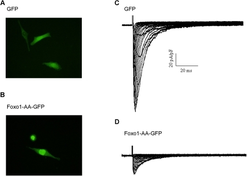 Foxo1 inhibits Na+ channel activity.Foxo1-AA-GFP was localized in HL-1 cardiomyocyte nuclei (B) while GFP was seen in both nuclei and cytoplasm (A). Whole cell Na+ currents were recorded during 80 ms depolarizing voltage steps to potentials between −60 and +60 mV from a holding potential of −100 mV in HL-1 cells expressing GFP or Foxo1-AA-GFP for 36 hours. The typical whole cell recording traces showed that robust Na+ currents were present in HL-1 cells expressing GFP (C) while remarkable reduction of Na+ currents in these cells expressing Foxo1-AA-GFP (D).