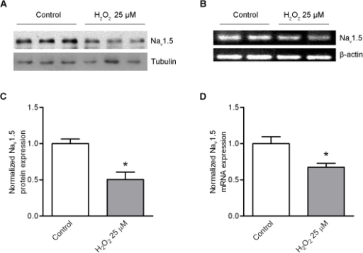 H2O2 reduces NaV1.5 expression.Western blot analysis showed that NaV1.5 protein was significantly decreased (*p<0.05) in HL-1 cells treated with 25 µM H2O2 for 48 h hours (n = 3) compared with the control group (n = 3) (A, C). RT-PCR analysis showed that NaV1.5 mRNA significantly reduced (p*<0.05) in HL-1 cells treated with 25 µM H2O2 for 48 hours (n = 3) compared with the control group (n = 4) (B, D).