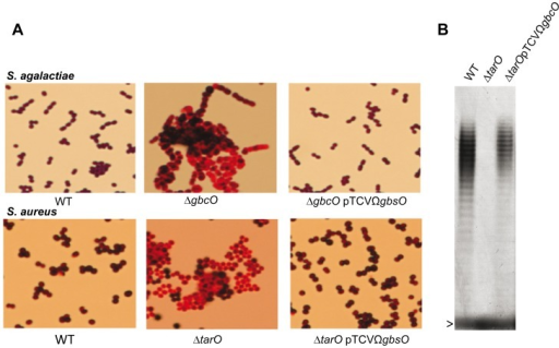 GbcO functionally complement TarO of S. aureus.(A) S. agalactiae ΔgbcO or S. aureus ΔtarO strains does not take Gram staining. In both species, the Gram staining and morphological phenotypes are restored by introduction of the plasmid pTCVΩgbcO carrying a functional S. agalactiae gbcO gene. (B) PAGE analysis of WTA extracted from S. aureus visualized with the alcyan blue-silver staining protocol. The gel shows the production of WTA in RN4220WT (first lane), the absence of WTA in the S. aureus ΔtarO strain (second lane) and the restoration of the WTA synthesis when the tarO deficiency is complemented in trans with the streptococcal gbcO gene (third lane). The arrowhead indicates the bromophenol blue migration front.