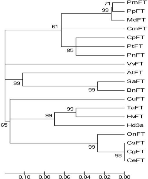 Phylogenetic analysis of the FT proteins from different plant species. OnFT (Oncidium Gower Ramsey, ACC59806.10); TaFT (Triticum aestivum, ACA25437.1); HvFT (Hordeum vulgare, ABJ97441.1); Hd3a (Oryza sativa Japonica Group, BAB61028.1); PnFT (Populus nigra, BAD02371.1); PtFT (Populus trichocarpa, XP_002334492.1); CpFT (Carica papaya, ACX85427.1); CuFT (Citrus unshiu, BAF96644.1); BnFT (Brassica napus, ACY03405.1); VvFT (Vitis vinifera, ABL98120.1); AtFT (Arabidopsis thaliana, BAA77838.1); PmFT (Prunus mume, BAH82787.1); PpFT (Prunus persica, ACH73165.1); SaFT (Sinapis alba, ACM69283.1); CmFT (Cucurbita moschata, ABR20499.1); MdFT (Malus × domestica, ACL98164.1). Bootstrap values were derived from 1000 replicate runs.