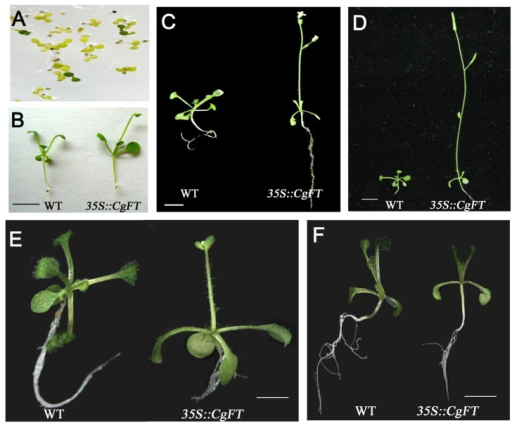 Phenotypic analysis of transgenic Arabidopsis thaliana plants (35S::CgFT) that ectopically expressed CgFT. (A) Screening transgenic A. thaliana T0 lines on 1/2 MS containing 50 μg/mL Kan. (B–D) Phenotype of WT and 35S::CgFT plants (line 7-1, T1) at different stages of 12 h L/12 h D. The green lines of A. thaliana are putative transgenic plants that are (B) 15-days-old; (C) 20-days-old; (D) 25-days-old; (E) Phenotype of WT and 35S::CgFT plants (line 7-3-5 T2) under 14 days long day (LD, 16 h L/8 h D) treatment; (F) Phenotype of WT and 35S::CgFT plants (line 7-3-5 T2) under 14 days short day (SD, 8h L/16 h D) treatment. Bar = 5 mm for A, C, D, E, F.