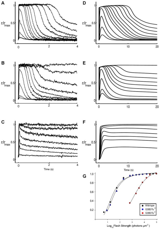 Flash responses from wild type, GαGTPG38D+/−, and GαGTPG38D−/− rods.Experimental (A, B, C) versus simulated (D, E, F) responses to flashes of increasing intensities from wild type GαGTPWT+/+ (A, D), heterozygous GαGTPG38D+/− (B, E) and homozygous GαGTPG38D−/− (C, F) rods are shown. Experimental data, i.e. published in Moussaif et al. [8] and provided by Marie E. Burns, refer to mice rods exposed to flashes ranging from 5 to 97000 photons µm−2 (A and B) or from 650 to 94000 photons µm−2 (C). Simulated responses derive from the model of an amphibian rod stimulated with the same light intensities as in vitro recordings. The pathological GαGTPG38D+/− and GαGTPG38D−/− models were generated by changes in the kinetic parameters kP1, kP2 and kRGS1 as described in the text. The dissimilar species justify the time scale difference between in vitro and in silico experiments. The responses were normalized with respect to the maximum photocurrent. G. Normalized simulated light response amplitude is plotted as a function of flash strength. For comparison to in vitro data, see Figure 5B in Moussaif et al. [8]. Flash intensities are the same as in D, E and F.
