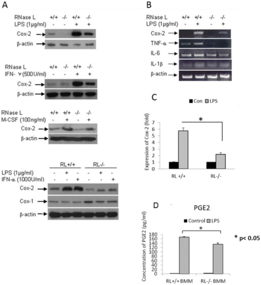 RNase L regulates the expression of Cox-2.RNase L deficient and wild type BMMs were treated with 1 µg/ml of LPS, 1,000 units/ml of IFN-α, 500 units/ml of IFN-γ, and 100 ng/ml of M-CSF for 14 h. The expression of Cox-2 was determined by Western blot analysis using a monolocnal antibody against mouse Cox-2 (A). RNase L wild type and deficient MEFs were treated with 1 µg/ml of LPS for 14 h. Total RNAs were isolated by using the Trizol Reagent (Invitrogen, CA). The expression of Cox-2, TNF-α, IL-6 and IL-1β was determined by RT-PCR (B). The expression of Cox-2 was measured by real-time PCR (C), which was performed twice in triplicate; the fold change from one of the experiments is present as Mean ±SD, *p<0.05. The production of PGE2 in the media culturing the two types of BMMs treated with LPS as described above was analyzed by ELISA (D). Experiments were performed twice in triplicates. Data are presented as Mean ±SD, *p<0.05.