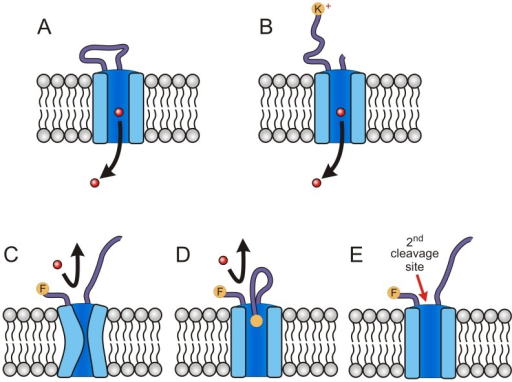Schematic showing models for protease action on PSAC.(A) Functional channel with a variable extracellular loop and permeating solute (red circle and arrow). (B) Trypsin digestion of extracellular loop, yielding a positively charged end. Solute transport is preserved. (C-E) Possible models of chymotrypsin inhibition in sensitive clones. Panel C shows a collapsed pore due to proteolysis at a critical site in the extracellular loop. Panel D shows steric hindrance of the channel pore, which may prevent solute permeation. Panel E shows cleavage at additional site(s) exposed after cleavage of the extracellular loop.