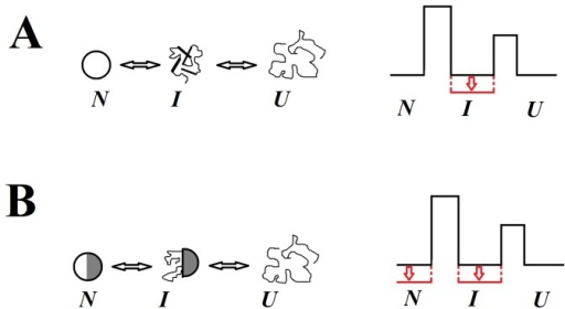 "Energy schemes for proteins with different types of intermediate state and schematic representation of different states of such proteins.A, Scheme for a protein in which native and intermediate states differ in their properties. In this case it is possible to choose the mutation that will act selectively on one of the protein states, for example, on the intermediate state (shown in red color). B, Scheme for a protein in which the intermediate state is a partially ""destroyed"" native state. In this case states I and N are stabilized by similar interactions and the mutation affecting state I will also affect state N. This effect (decreasing free energy for I and N) is shown in red. N. I and U are native, intermediate and unfolded states of the protein, respectively."