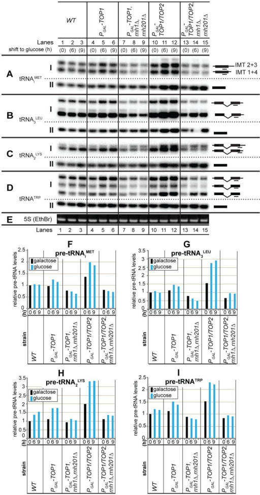 R-loops at tRNA genes affect pre-tRNA synthesis in strains lacking topoisomerase and RNase H activities.A–E: Wild-type strain BY4741 (WT) and isogenic mutant strains single PGAL-TOP1, triple PGAL-TOP1 rnh1Δ rnh201Δ, double PGAL-TOP1/TOP2 and quadruple PGAL-TOP1/TOP2 rnh1Δ rnh201Δ, were grown at 30°C and harvested at 0 h (galactose- and sucrose- containing medium) and at 6–9 h post-shift to glucose-containing medium. Total RNAs were extracted and analyzed by northern hybridization. The membrane was hybridized separately with probes tRNAiMET (A), tRNA3LEU (B), tRNA2LYS (C) and tRNATRP (D). Ethidium bromide staining of 5S rRNA is in (E). Precursor and mature tRNA species are in subpanels I and II, respectively. Exon and intron sequences are represented by filled boxes and horizontal lines, respectively, and probe locations are indicated as lines under the schematics of the pre-tRNA species. Short (IMT1+IMT4) and long (IMT2+IMT3) forms of tRNAiMET are indicated. F–I: Quantification of tRNA precursors (pre-tRNAs) from northern analysis data in panels A–D. Pre-tRNA ratios at each time point were generated by normalising the pre-tRNA species (subpanels I) to the loading control (5S rRNA) and by expressing all the values relative to the 0 h sample of the wild-type strain, which was set to 1.