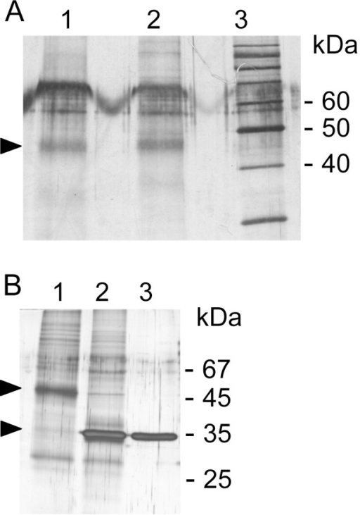 Visualization of cupula proteins.A, crude extracts from isolated cupulae from salmon, (lane 1) and chicken (lane 2) were separated on a 12% SDS-PAGE under reducing conditions and silver stained. The arrowhead highlights a dominant protein (∼45 kDa) chosen for further analyses. Lane 3, marker proteins. In the 60 kDa range additional yet unidentified protein components are visible. B, deglycosylation of salmon cupula protein extract. Lane 1, cupula extract untreated; lane 2, cupula extract+PNGase F (100 NEB units), lane 3, PNGase F control (500 NEB units). Arrowheads indicate molecular weight shift of the 45 kDa protein due to the N-deglycosylation.