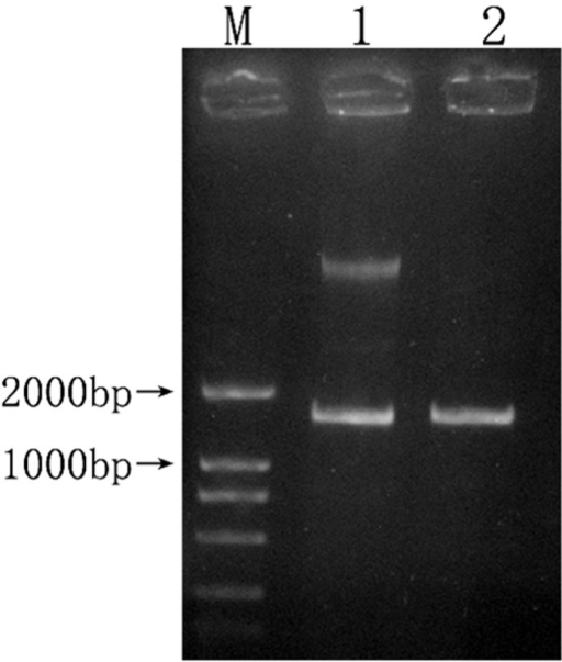 Enzyme digestion result of 16S rRNA gene recombinant.1 represented enzyme-digested product of 16S rRNA gene recombinant plasmid; 2 represented PCR product of 16S rRNA gene;M represented DL2000 DNA Marker.