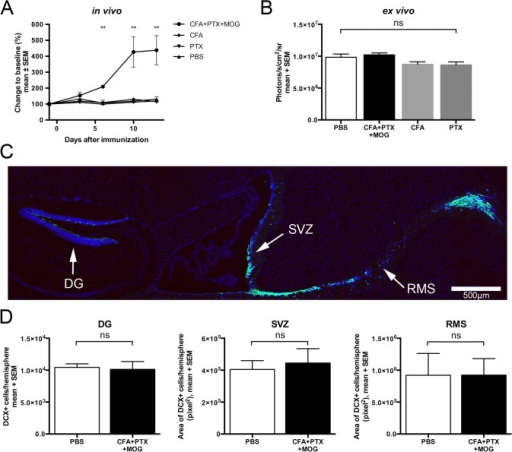 DCX-expression and ex vivo bioluminescence remain constant despite increased in vivo bioluminescence after EAE induction.(A) In vivo bioluminescence imaging of the brain recorded from minute 5 to 20 after i.p. injection of 150 mg/kg D-Luciferin in DCX-luc mice with antigen-specific (200 μg MOG35–55+CFA+PTX, n = 6) or incomplete (CFA only, n = 4; PTX only, n = 4) immunization and in the PBS control group (n = 5). The maximum photon flux integrated over 59 seconds is shown. Only mice with antigen-specific immunization developed clinical signs of EAE (not shown). Mice were sacrificed after 14 days and brains were used for ex vivo detection of luciferase activity. (B) Brain hemispheres were homogenized and luciferase activity measured by addition of excess D-Luciferin and ATP. (C and D) DCX-luc mice were immunized as detailed above (PBS, n = 6; CFA+PTX+MOG, n = 6) and perfused after 14 days at the peak of EAE. Sagittal brain sections were immunostained for DCX (shown in green) and analyzed in the dentate gyrus (DG), subventricular zone (SVZ), and rostral migratory stream (RMS). (C) A representative example is shown (PBS-treated). (D) DCX positive cells in the DG were counted and presented as the total number of positive cells per hemisphere. DCX positive cells in the SVZ and the RMS are shown as the total area (pixel2) of positive cells per hemisphere. Results are presented as mean ± SEM per group. **p<0.01 (ANOVA in A, B; Mann Whitney U test in D).