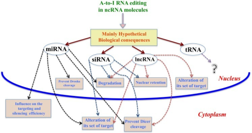 Mainly hypothetical biological consequences. In this figure, we show some of the main biological consequences of A-to-I RNA editing in ncRNA molecules, both in nucleus and cytoplasm.