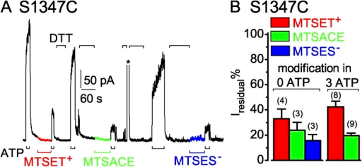 S1347C CFTR channels are readily modified by MTS reagents when closed. (A) Immediately after ∼60-s applications of 50 µM MTSET+ (red trace and bar), MTSACE (green trace and bar), or MTSES− (blue trace and bar) to closed S1347C channels in the absence of ATP, brief exposures to 3 mM ATP (black bars below record) assessed residual channel activity. Exposures to 20 mM DTT (black bars above record) restored ATP-activated current by releasing adducts after each modification; the asterisk above the record marks brief activation of Ca2+-dependent Cl− current to monitor solution exchange speed (time constant = 0.3 s for this patch). (B) Amplitude of residual ATP-dependent current (Iresidual %), relative to ATP-activated current before modification, for S1347C channels modified, while closed (left, 0 ATP), by MTSET+ (red bar, 33 ± 8%; n = 4 measurements in four patches), by MTSACE (green bar, 24 ± 6%; n = 3 measurements in three patches), or by MTSES− (blue bar, 16 ± 5%; n = 3 measurements in three patches), or while opening and closing (right, 3 mM ATP), by ≥50 µM MTSET+ (red bar, 42.4 ± 4.5%, n = 8 measurements in four patches) or by ≥50 µM MTSACE (green bar, 19.5 ± 2.0%, n = 9 measurements in four patches). Error bars represent mean ± SEM.