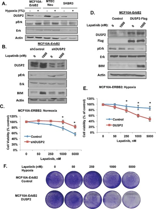 HIF-1 target DUSP2 is required for lapatinib resistance(A) Indicated cells were exposed to hypoxia for 6 hrs and cell lysates were collected for immunoblot analysis. (B) Cells stably expressing control or DUSP2 shRNA were treated with 1 μM lapatinib and cell lysates were collected for immunoblot analysis. (C) Cells expressing control or DUSP2 shRNA were treated with increasing doses of lapatinib and cell viability was assessed. (D) Cells stably expressing DUSP2-flag protein were treated with 1 μM lapatinib under hypoxia and cell lysates were collected for immunoblot analysis. (E) Cells expressing DUSP2-flag were treated with increasing doses of lapatinib and cell viability was assessed. (F) Cells as in E were stained with crystal violet. Error bars indicate S.E. (*p ≤ 0.05).