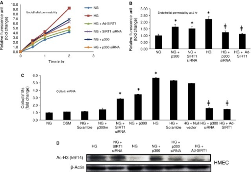 SIRT1 overexpression prevents glucose-induced increased endothelial permeability and collagen Iα(I) expression. (A) Duration dependent endothelial permeability and (B) end-point analysis showed, HG induced increased endothelial permeability was prevented by Ad-SIRT1 transfection or p300 siRNA treatment. SIRT1 siRNA or p300 overexpression in NG caused increased permeability by these cells mimicking the effects of HG. (C) HG caused an increase in Collagen Iα(I) mRNA expression in the ECs which was prevented by Ad-SIRT1 or p300 siRNA transfection. Opposingly, SIRT1 knockdown or p300 overexpression both lead to an up-regulation of Collagen Iα(I) mRNA levels in NG. (D) Western blot analysis of acetylated histone (Ac-H3K9/14) shows Ad-SIRT1 or p300 siRNA transfection reduced HG-induced increased histone acetylation in HMECs. On the other hand SIRT1 siRNA or p300 overexpression increased such acetylation in NG in these ECs. NG = 5 mmol/l glucose, HG = 25 mmol/l glucose, * = significantly different from NG, ╪ = significantly different from HG. HMECs  =  human microvascular endothelial cells. mRNA levels are expressed as a ratio of 18s. All data (mean ± SEM, P < 0.05) were normalized to NG; n = 4–6/group.