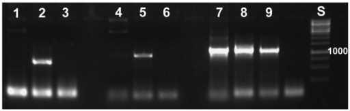 Specific primers developed for reed beetle symbionts do not yield a PCR product with standard laboratory strains of E. coli (1% agarose gel containing ethidium bromide, UV illumination). Primers used: 1–3: specific for Donacia symbionts; 4–6: specific for Macroplea symbionts; 7–9: general bacterial primers. The samples are: 1, 4, 7: E. coli; 2, 8: D. semicuprea symbiont; 3: negative control (distilled water); 5, 9: Macroplea sp. symbiont; 6: negative control; S: size standard with the fragment size 1,000 bp given (cf. Figure 6).