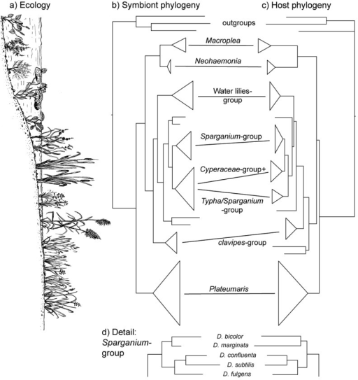 Co-cladogenesis of symbiotic bacteria and their reed beetle hosts. (a) Profile of the margin of a water body with characteristic vegetation; (b) Phylogenetic tree of the symbionts; (c) Phylogenetic tree of the hosts (reed beetles); (d) Congruent branching pattern within the Sparganium-group. The trees in (b) and (c) are schematic representations of the phylogenies presented in greater detail in [45]. The size of the triangles (length of vertical edge) is proportional to the number of species that had been included in that analysis (for scale: five species in the Sparganium-group). The species groups (names given between (b) and (c) and the position of four single species varying between methods used for tree construction are discussed in [55]. The position of the groups relative to the shore profile in (a) reflects their approximate habitat preference.