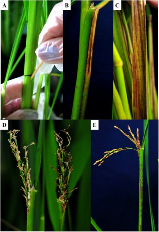 Infection caused by P. fuscovaginae-like strain IRRI 7007 in O. sativa cv. Azucena.A) Plants were inoculated at 45 days after transplanting using toothpick method. B) Symptom development along the sheath showing brown necrotic lesions. C) Discolored inner sheath. D) Poorly emerged panicles with brown to dark brown grains. E) Emerged panicles with discolored grains and progressive necrotic stripes at maturity stage.