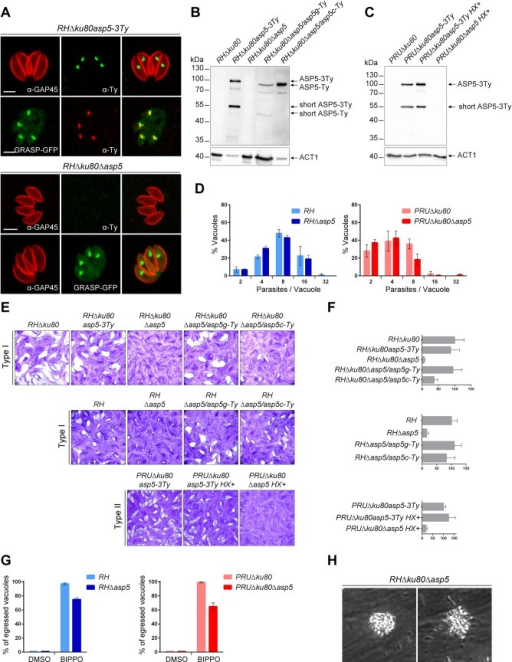 ASP5 is a dispensable Golgi-resident protein.(A) In type I parasites, indirect immunofluorescence analyses (IFA) using α-Ty antibodies revealed that ASP5-3Ty is a Golgi-resident protein, which co-localizes with the Golgi marker GRASP-YFP. Gliding associated protein 45 (α-GAP45) antibodies were used to stain the parasite periphery. Scale bars represent 2 μm. (B) Western blots completed with α-Ty antibodies, revealed that ASP5-3Ty migrates at the molecular size of 100 kDa, but also as a second lower band of 55 kDa. No Ty signal was detected in RHΔku80Δasp5 parasites. Complementation with ASP5-Ty gDNA (asp5g-Ty) restores the wt pattern while complementation with ASP5-Ty cDNA (asp5c-Ty) leads only to production of the 100 kDa band. T. gondii Actin 1 (α-ACT1) was used as a loading control. (C) In type II parasites, ASP5-3Ty migrates similarly to that seen in type I parasites, with two bands detected at 100 and 55 kDa. No Ty signal was detected for PRUΔku80Δasp5 parasites. Detection of α-ACT1 was used as a loading control. (D) Intracellular growth type I and type II parasites was assessed after 24 hr in complete media. Parasites lacking ASP5 were not impacted in their ability to replicate intracellularly. Data are mean value ± s.d. of three independent experiments. (E) Deletion of ASP5 resulted in a significant impairment of the lytic cycle, as assessed by plaque formation after 7 days, in both type I and II parasites. Complementation with ASP5-Ty gDNA (asp5g-Ty) fully restored plaque formation whereas complementation with ASP5-Ty cDNA (asp5c-Ty) led to an intermediate plaque phenotype. (F) Mean area of 10 plaques ± s.d.is depicted. (G) Quantification of BIPPO-stimulated egressed vacuoles. Data show mean ± s.d. of three independent experiments. (H) During natural egress, a significant fraction of the parasites remains trapped either inside the parasitophorous vacuole or the host plasma membrane which resemble detached sphere-like structures. No other apparent phenotype was observed.