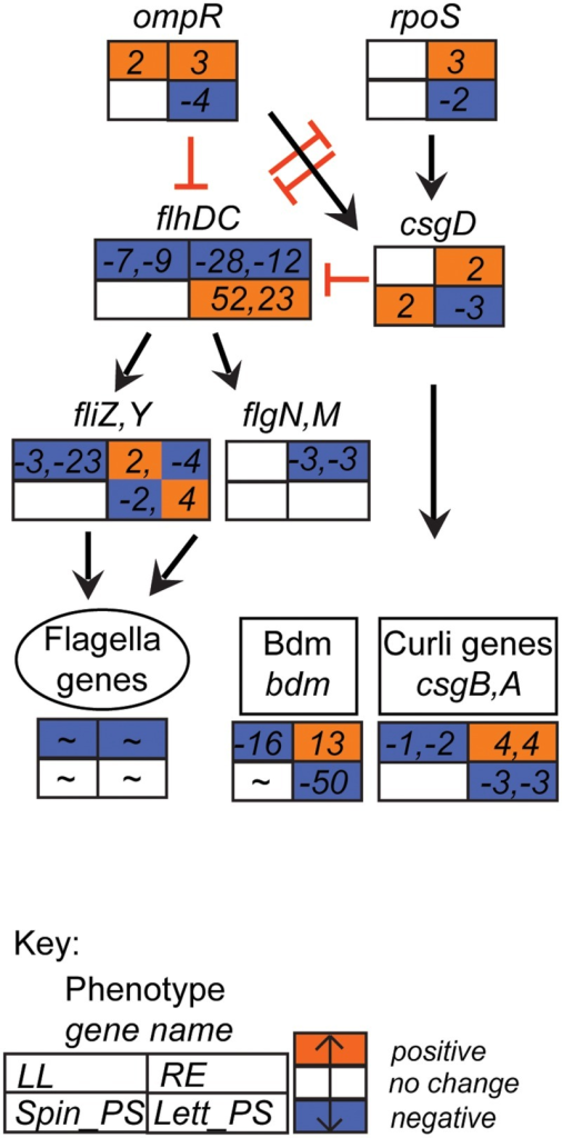 Flagella-curli regulatory network gene expression profiles. Expression data for selected E. coli O157:H7 (Sakai) genes in response to different plant extracts was overlaid onto the network to generate a color code of expression: orange for induction, blue for repression, and white for no change < ± twofold. Expression is provided for selected genes that were affected in at least one of the four plant extracts. Gene names are in italics; genes associated with a phenotype are grouped together; an overall approximate change (indicated by '∼') is provided for flagella genes (data in Supplementary Table S2B). The data for all four conditions is arranged in a grid, ordered as indicated in the Key: LL, leaf lysates and RE, root exudates for spinach; Spin_PS, spinach CWPSs; Lett_PS, lettuce CWPSs. Regulatory connections, both direct and indirect (Pesavento et al., 2008; Pesavento and Hengge, 2012; Guttenplan and Kearns, 2013), with either positive (black arrow) or inhibitory (red bar) effects are shown.