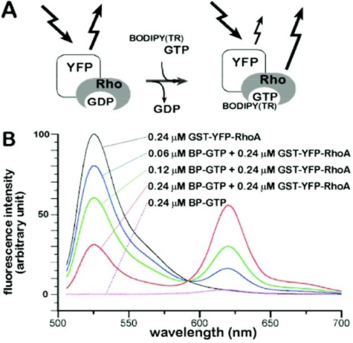 A FRET-based detection of GDP/GTP exchange on RhoA. (A) The principle for detecting GDP/GTP exchange on RhoA small GTPase based on FRET from YFP fused to RhoA (YFP-RhoA) to a fluorescent analogue of GTP, BODIPY(TR)-GTP (BP-GTP). (B) Fluorescence emission spectra of GST-YFP-RhoA (0.24 μM) in the presence of various concentrations of BP-GTP. The excitation wavelength was 488 nm. The dotted line is the emission spectrum from 0.24 μM BP-GTP excited at 488 nm in the absence of GST-YFP-RhoA. All spectra are the averages from three independent experiments.